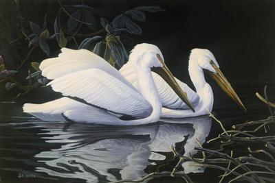Pelicans-Michael Budden-Giclee Print