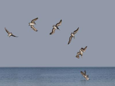 Pelicans-Marli Miller-Photographic Print