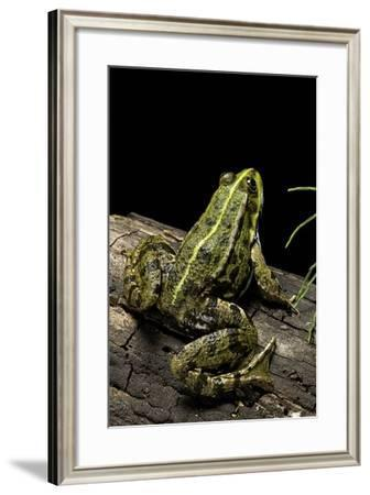 Pelophylax Ridibundus (Marsh Frog, Laughing Frog)-Paul Starosta-Framed Photographic Print