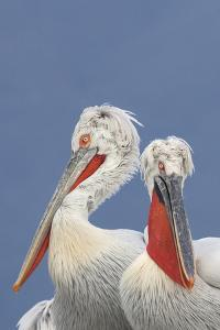 Two Dalmatian Pelicans (Pelecanus Crispus) Lake Kerkini, Macedonia, Greece, February 2009 by Peltomäki
