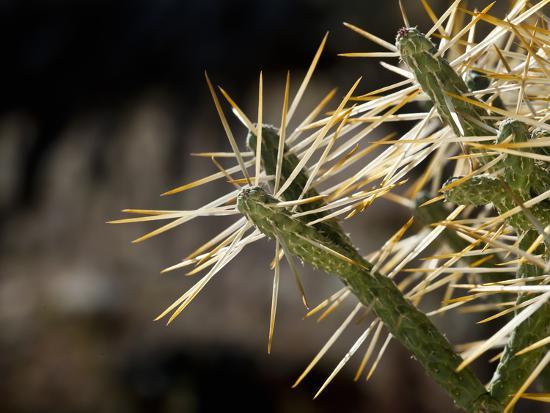 Pencil Cactus (Opuntia Ramosissima), Joshua Tree National Park, California, Mojave Desert, USA-Buff & Gerald Corsi-Photographic Print