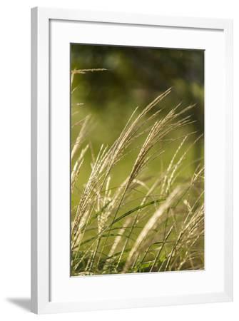 Pendulous Wood Sedge, Carex Sylvatica, Grows in Lancaster County-Richard Nowitz-Framed Photographic Print