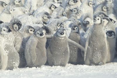 Penguin Chicks Exposed in Snow-DLILLC-Photographic Print