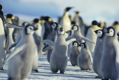 Penguin Chicks Stretching Wings-DLILLC-Photographic Print