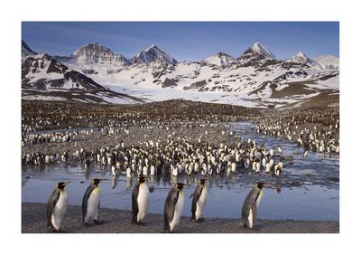 Penguin Colony-Donald Paulson-Giclee Print