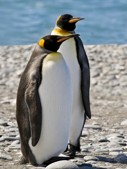 penguin, King, pair-George Theodore-Photographic Print