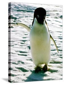 Penguin on the Ice Floe