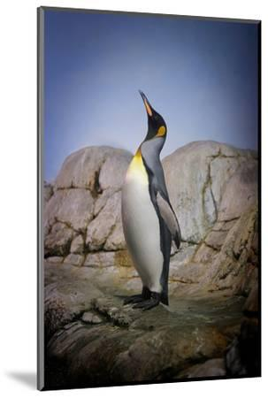 Penguin with Beak towards the Sky and Wings Back on Rocks.-Kimberly Hall-Mounted Photographic Print