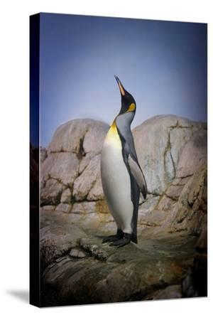 Penguin with Beak towards the Sky and Wings Back on Rocks.-Kimberly Hall-Stretched Canvas Print