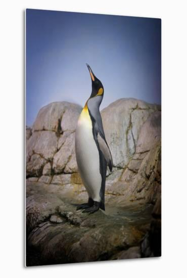 Penguin with Beak towards the Sky and Wings Back on Rocks.-Kimberly Hall-Metal Print