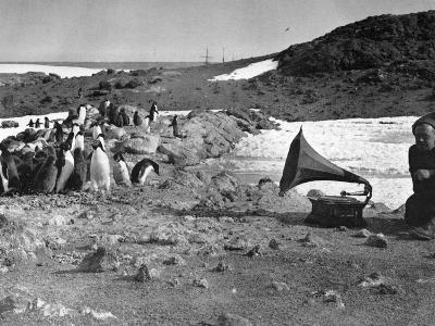 Penguins and Gramophone--Photographic Print
