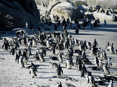 Penguins at Boulder Beach in Simon's Town, Near Cape Town, South Africa, Africa-Yadid Levy-Photographic Print