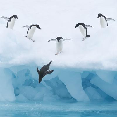 Penguins Jumping into Water-Tim Davis-Photographic Print