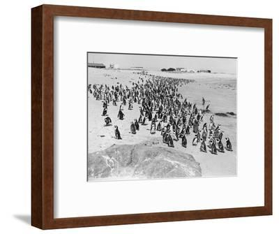 Penguins on the Beach at Dassen Island off the Coast of South Africa, 1935