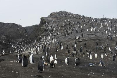 https://imgc.artprintimages.com/img/print/penguins-saunders-island-south-sandwich-islands-antarctica-polar-regions_u-l-q1br7710.jpg?p=0