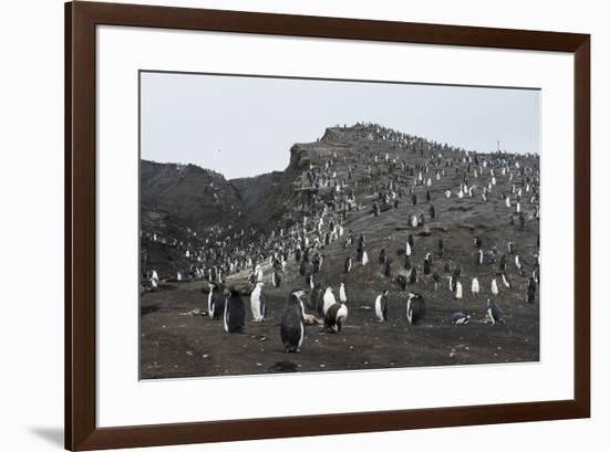 Penguins, Saunders Island, South Sandwich Islands, Antarctica, Polar Regions-Michael Runkel-Framed Photographic Print