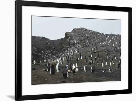 Penguins, Saunders Island, South Sandwich Islands, Antarctica, Polar Regions-Michael Runkel-Framed Photographic Print