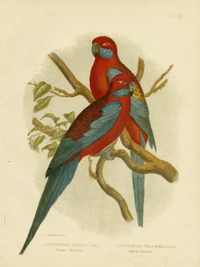 Pennants Parakeet or Crimson Rosella, 1891-Gracius Broinowski-Giclee Print