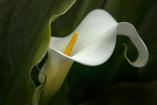 Pennsylvania. Calla Lily Close-Up-Jaynes Gallery-Photographic Print