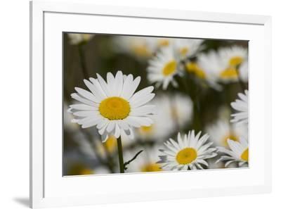 Pennsylvania. Field of daises.-Cindy Miller Hopkins-Framed Photographic Print