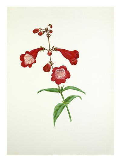 Penstemon Rubicundus-Graham Stuart Thomas-Giclee Print