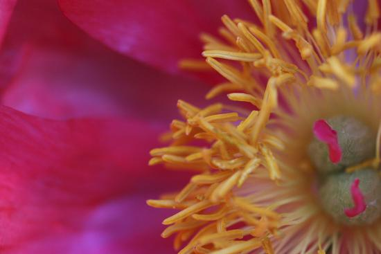 Peony Abstract-Anna Miller-Photographic Print