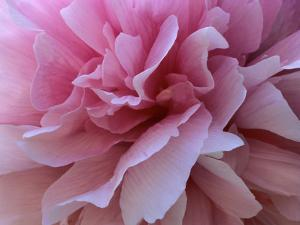 Peony Detail of a Light Pink Blossom