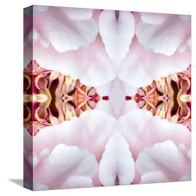 Peony Flame-Rose Anne Colavito-Stretched Canvas Print