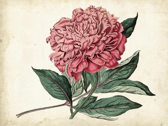Peony Garden II-Curtis-Art Print