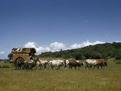 People, Oxen, and Horses Reenact Frontier Scene of Travel by Coach-Luis Marden-Photographic Print