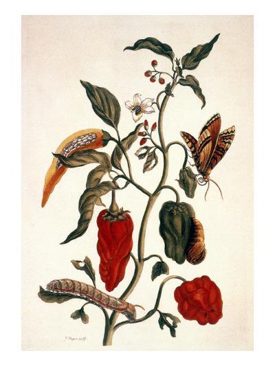 Pepper Plant-Maria Sibylla Merian-Giclee Print