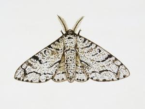 Peppered Moth (Biston Betularia), Geometridae