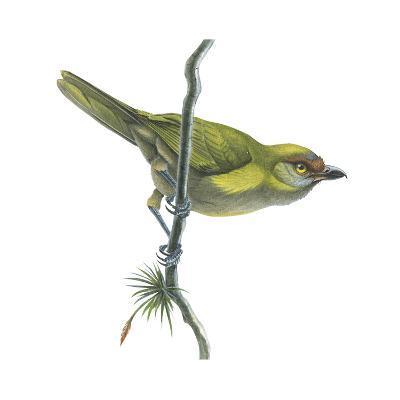 Peppershrike (Cyclarhis Nigrirostris), Birds-Encyclopaedia Britannica-Art Print
