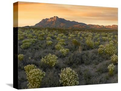 Pepperweed meadow beneath El Capitan, Guadalupe Mountains National Park, Texas-Tim Fitzharris-Stretched Canvas Print
