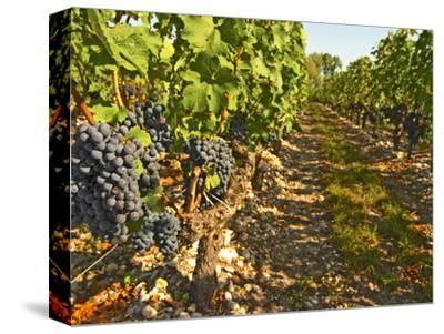 Cabernet Sauvignon Vines, Chateau Belgrave, Haut-Medoc, Grand Crus Classee, France