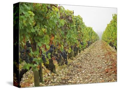 Cabernet Sauvignon Vines with Grapes, Chateau Du Tertre, Margaus, Medoc, Bordeaux, Gironde, France