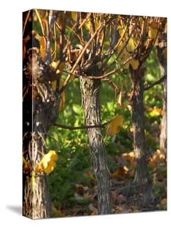 Golden Vineyard in Late Afternoon, Domaine Des Verdots, Conne De Labarde, Dordogne, France