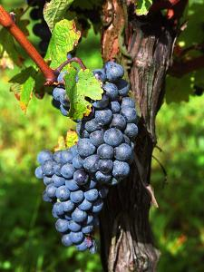 Merlot Grapes on Branch of a Vine, Bergerac, Bordeaux, Gironde, France by Per Karlsson