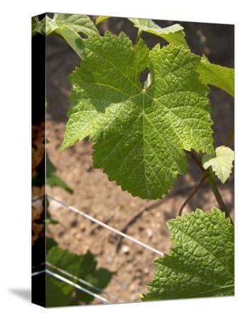 Pinot Noir Leaf, Champagne Francois Seconde, Sillery Grand Cru, Montagne De Reims, Marne, France
