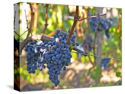Ripe Bunches of Merlot Grapes, Chateau La Grave Figeac, Saint Emilion, Bordeaux, France