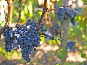 Ripe Bunches of Merlot Grapes, Chateau La Grave Figeac, Saint Emilion, Bordeaux, France by Per Karlsson