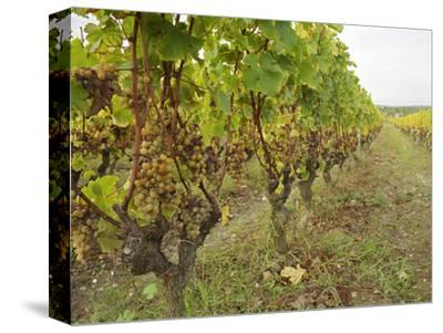 Semillon Grapes with Noble Rot on Vines, Chateau d'Yquem, Sauternes, Bordeaux, Gironde, France