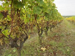 Semillon Grapes with Noble Rot on Vines, Chateau d'Yquem, Sauternes, Bordeaux, Gironde, France by Per Karlsson