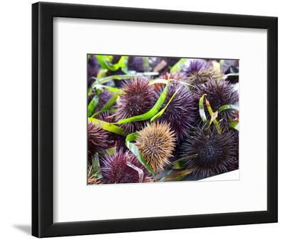 Street Market Stall with Sea Urchins Oursin, Sanary, Var, Cote d'Azur, France