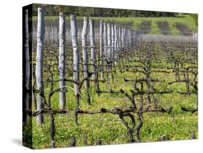 Vineyard in Cordon Royat, Bodega Pisano Winery, Progreso, Uruguay