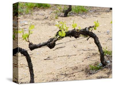 Vineyard of Pierre Gaillard in Malleval, Rhone Valley, France