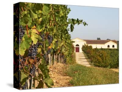 Vineyards, Petit Verdot Vines and Winery, Chateau De La Tour, Bordeaux, France