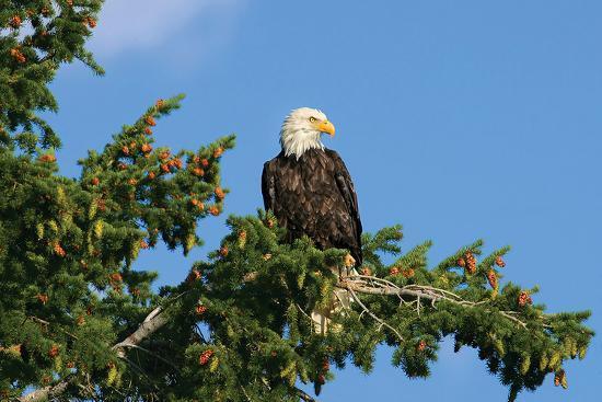 perched-eagle