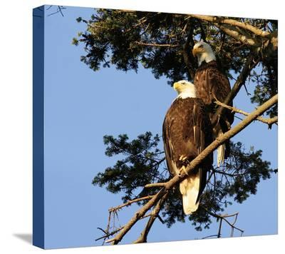Perched Eagles--Stretched Canvas Print
