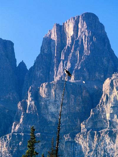 Perched Osprey (Pandion Haliaetus) and Castle Mountain, Banff National Park, Canada-David Tomlinson-Photographic Print